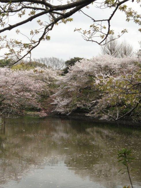 Sakura at Tsurugaoka Hachiman-gu